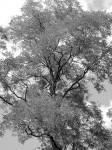 The-Tree-BW