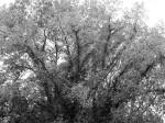 big-tree-bw