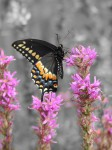 black-butterfly-color-isolated_edited-1