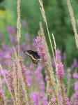 black-butterfly-distance-shot