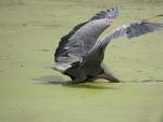 blue-heron-goin-fishin