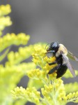 bumble-bee-great-face_isolated-color-1