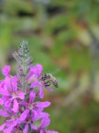 bumblebee-buzzing-lavender