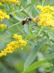 busy-goldenrod-bug-and-bee