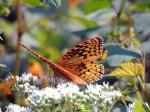 butterfly-moth-orancge