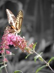 butterfly-on-two-pink-flowers-color-isolated
