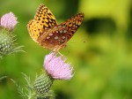 butterfly-thistle-full-color