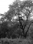 bw-cool-tree
