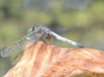 dragonfly-on-leaf