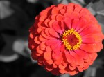 fire-red-orange-flower-color-isolated_edited-1