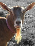goat-female-cac-mpj-farm
