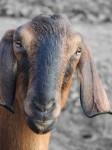 goat2cailie-mpj-farm