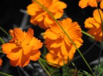 gold-flowers-group-slight-focus-isolated-color