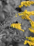 goldenrod-bee-isolated-color_edited-1