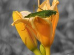 grasshopper-flower-yellow2-color-isolated_edited-1