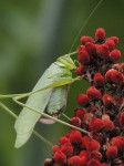 grasshopper-redberries-headingup