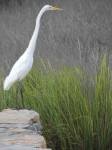 great-egret-lookout_webversion-1
