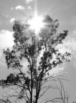 great-tree-with-sunburst-bw
