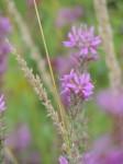 lavender-flower-with-beige-wheatgrass