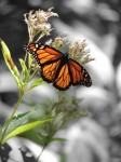 manarch-sunlight-wingspan