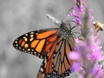 monarch-bee-bigview8-22-12_color-isolated_edited-2