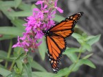 monarch-color-isolated-8-27-12