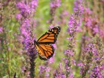 monarch-decent-shot-lavendar