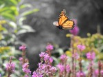 monarch-flight-of-the-butterfly-color-isolated_web-version-1