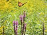 monarch-flight-purple-yellow-web-version-1