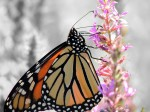 monarch-large-and-clear_color-isolated_edited-2