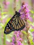 monarch-nice-shot-balanced_edited-1