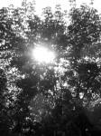 sunset-tree-b-w