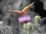 thistle-butterfly2-color-isolated_edited-1
