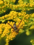 wasp-goldenrod-full-color_edited-1