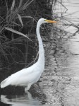 white-heron-mystic-ct-color-isolated_web-version-1