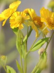 yellowflowers-almost-color-isolated-naturally_edited-1